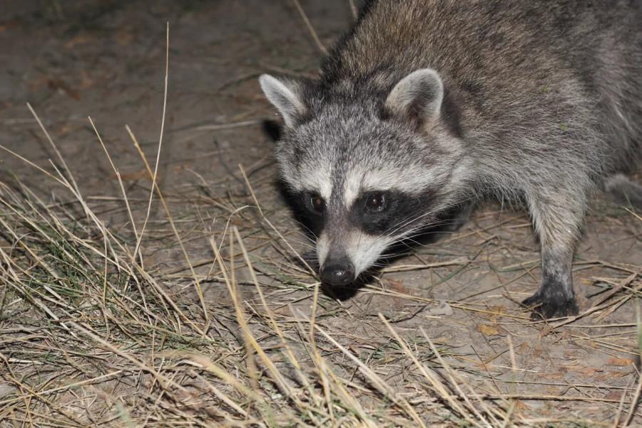 5-Raccoon_1