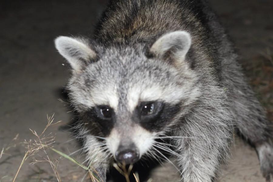 6-Raccoon-2