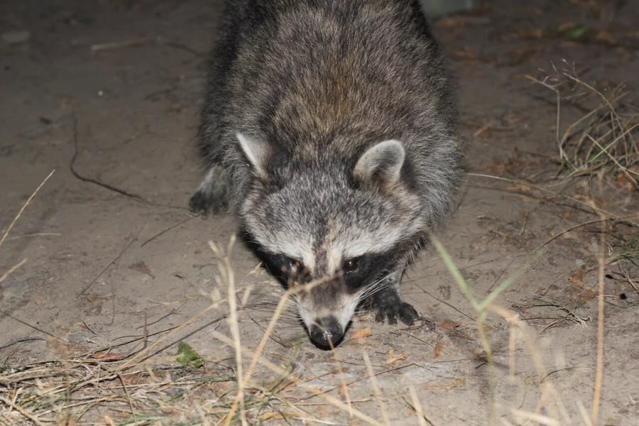7_Raccoon_3