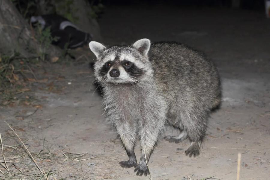 8_Raccoon4