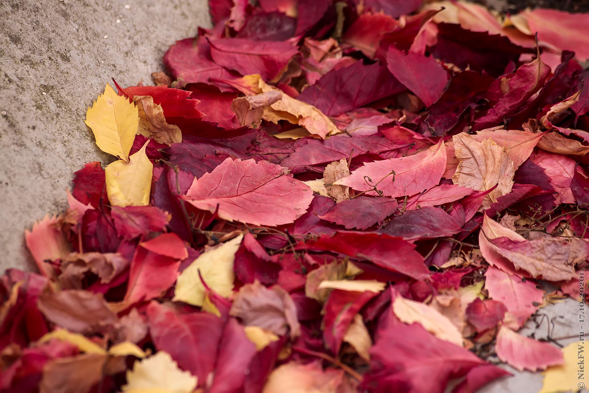 1. Девичий виноград - опавшие листья © NickFW.ru - 17.10.2020г.
