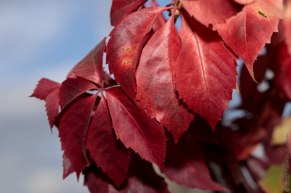 1. Девичий виноград © NickFW.ru - 17.10.2020г.