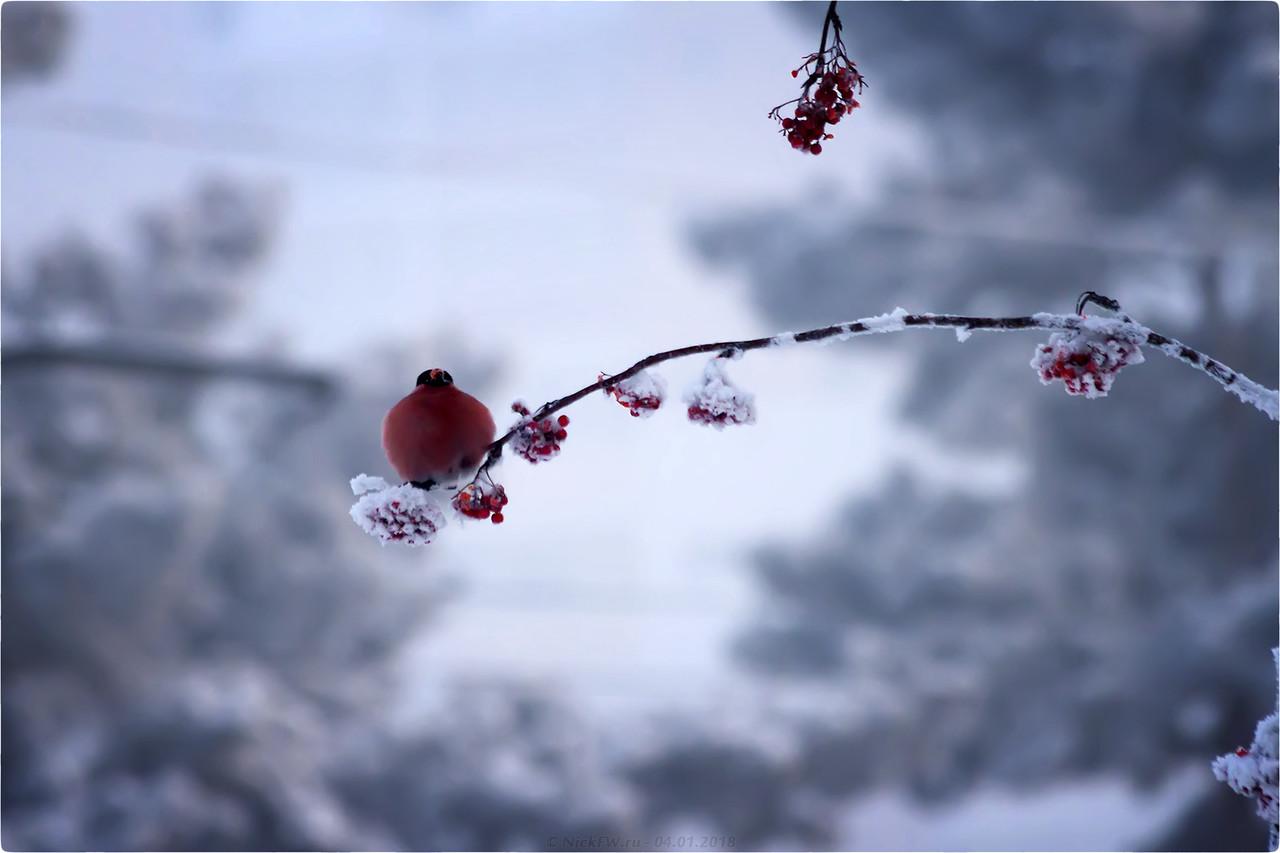 2. Снегирь © NickFW - 04.01.2018г. - больше фоток тут: https://nickfw.livejournal.com/165726.html