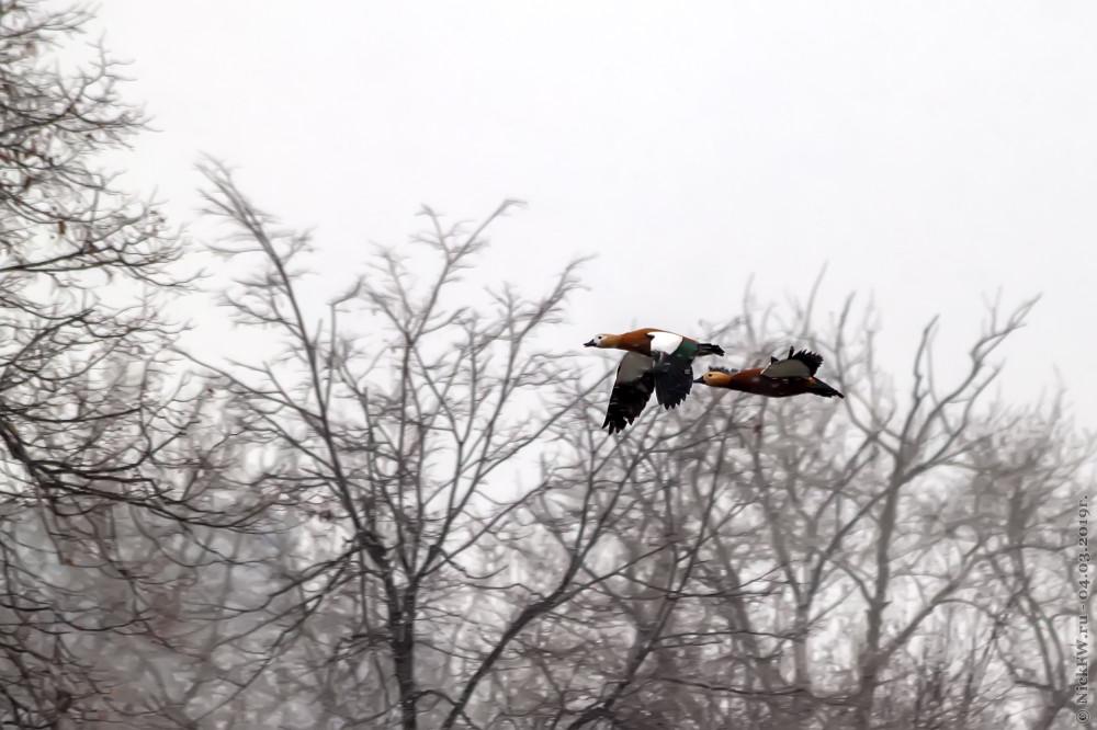 1. Парочка огарей в полёте © NickFW.ru - 04.03.2019г.
