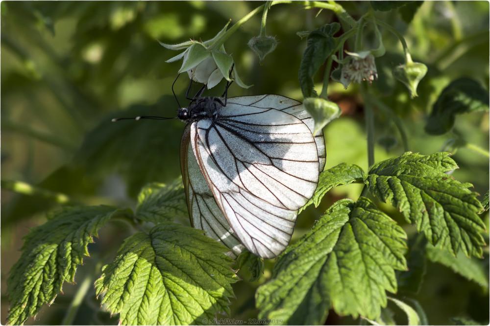 1. Бабочка Боярышница на малине © NickFW.ru - 22.06.2019г.