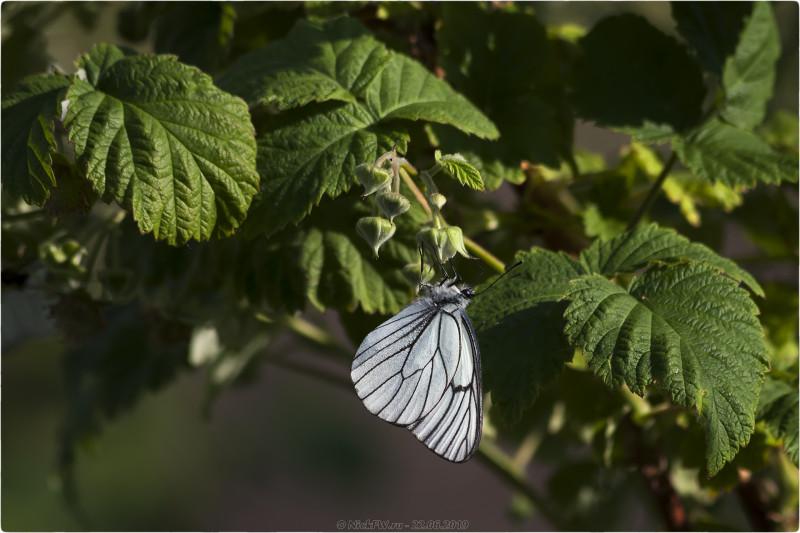 2. Бабочка Боярышница на малине © NickFW.ru - 22.06.2019г.