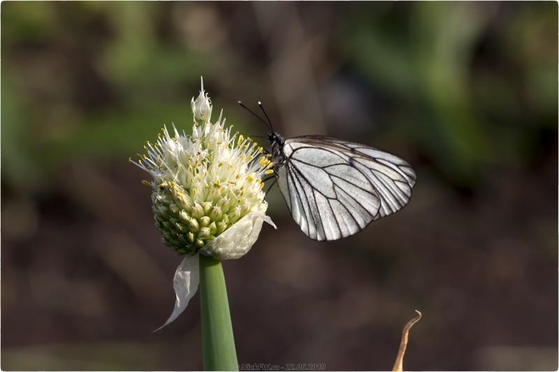 8. Бабочка Боярышница на цветке лука батуна © NickFW.ru - 22.06.2019
