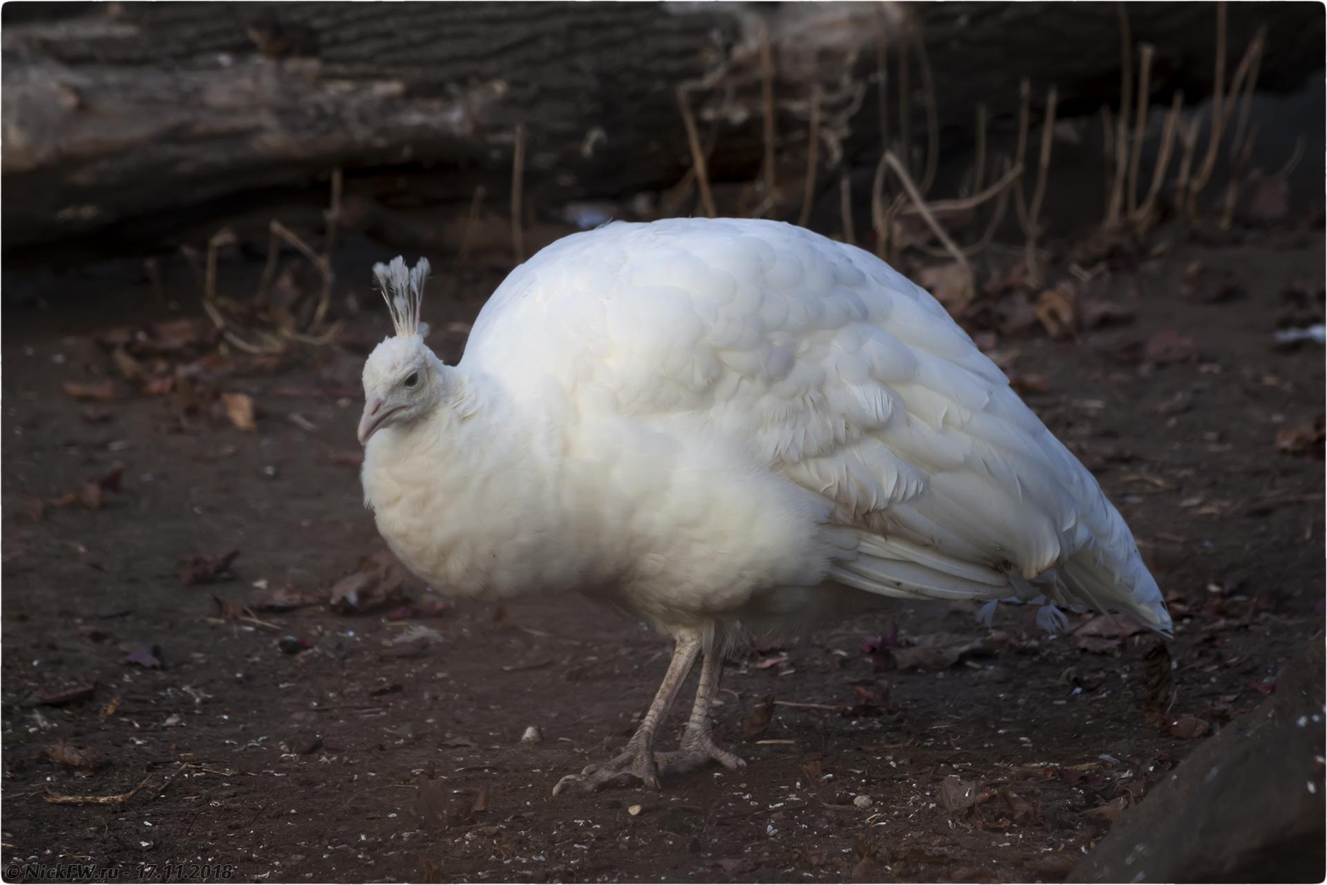 Белый павлин [© NickFW.ru - 17.11.2018г.]