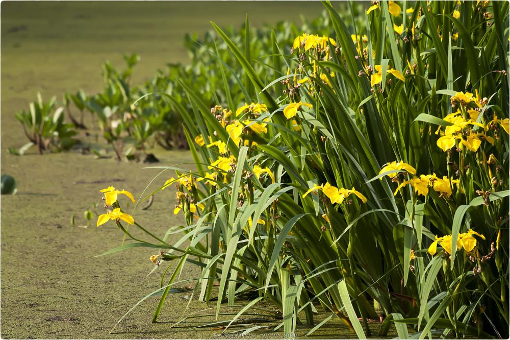8. Жёлтые ирисы © NickFW.ru - 09.06.2019г.