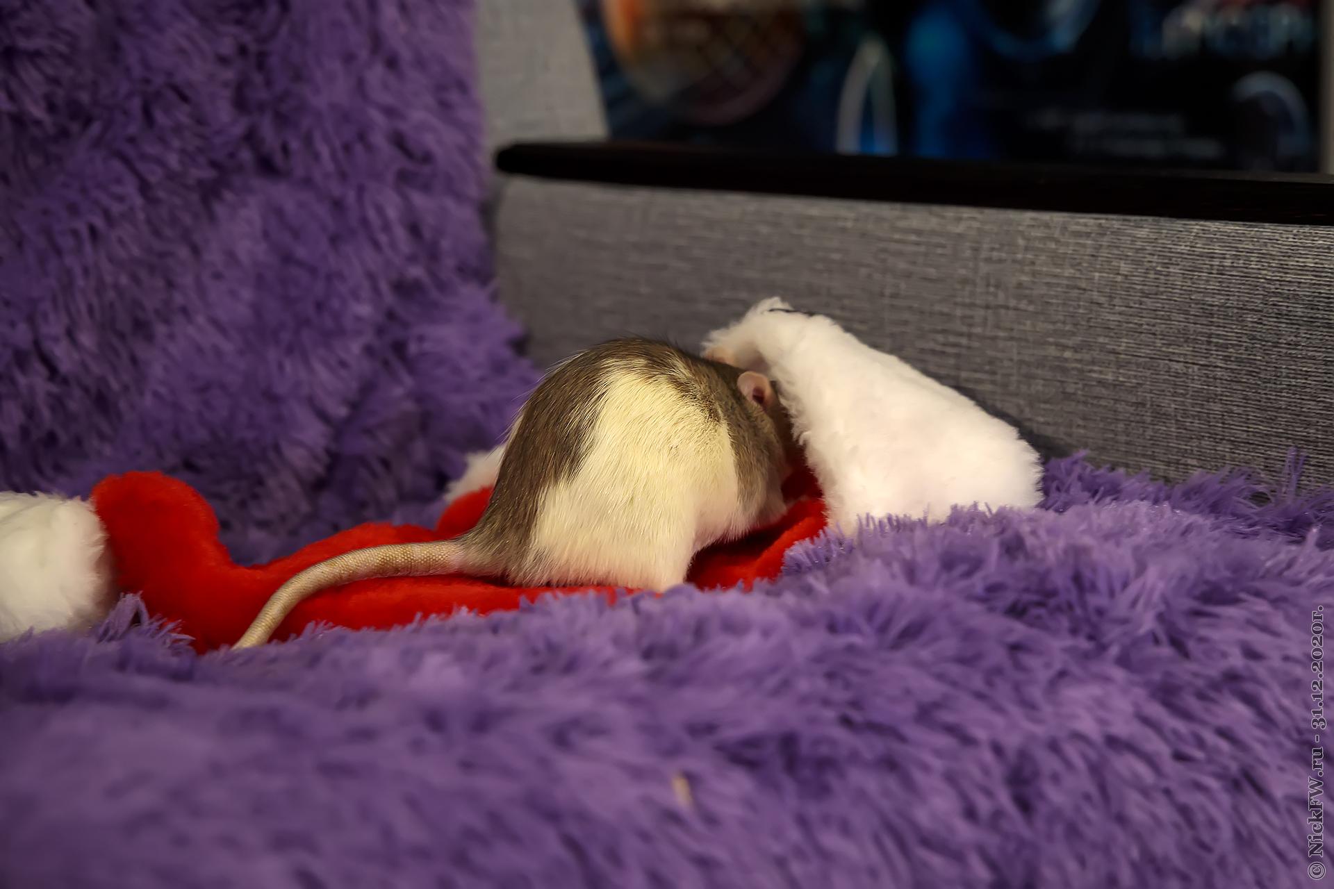 3. Тоська прячется в шапку © NickFW.ru - 31.12.2020г.