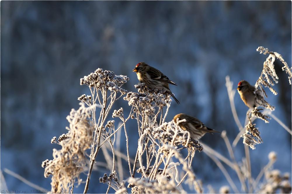 2. Чечётки в близ Столбово [© NickFW.ru - 17.12.2018г.]