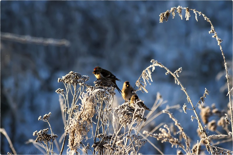 4. Чечётки в близ Столбово [© NickFW.ru - 17.12.2018г.]