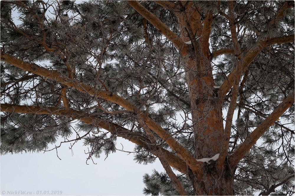 2. Морозная хвоя [© NickFW.ru - 01.01.2019г.]