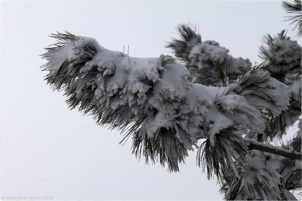 2. Ветка сосны в снегу © NickFW.ru — 06.01.2019г.