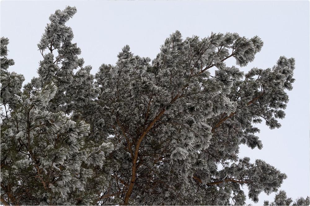 3. Сосны в снегу © NickFW.ru — 06.01.2019г.
