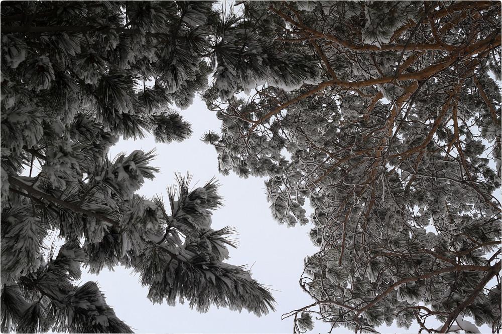 1. Сосны в снегу © NickFW.ru — 06.01.2019г.