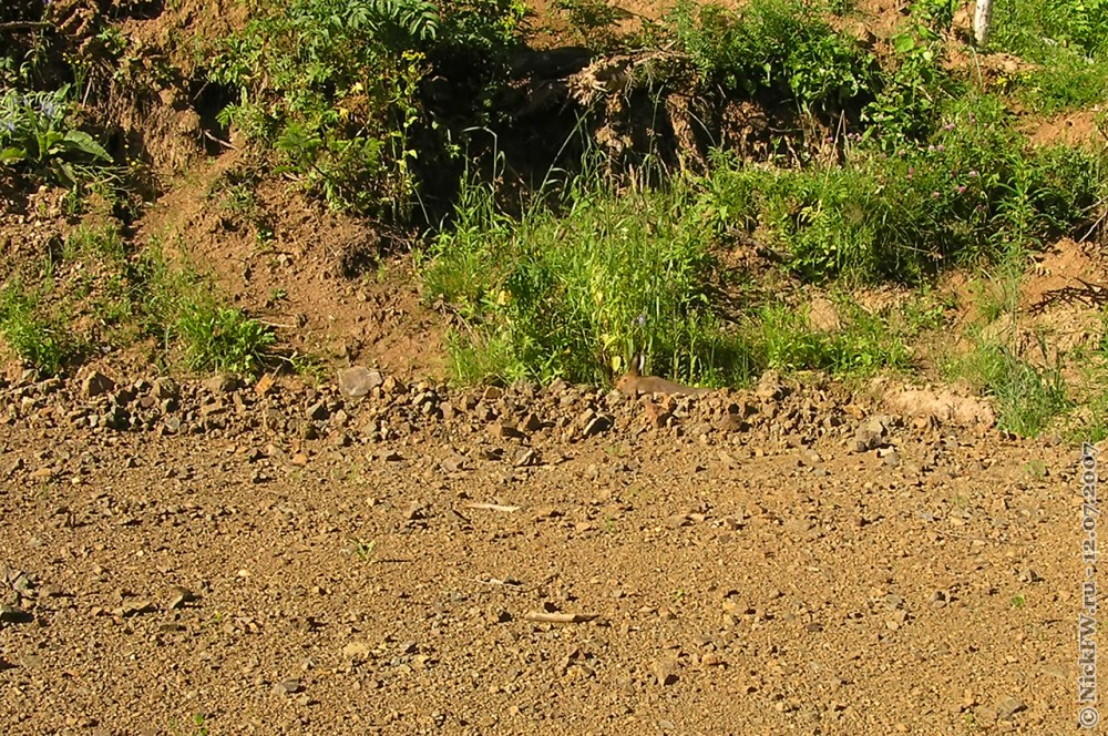4. Заяц у грунтовки © NickFW.ru — 12.07.2007г.