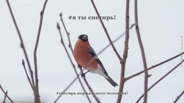 Я ты снегирь!