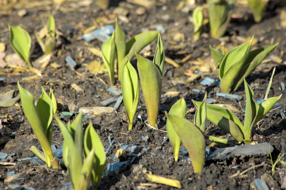 3. Тюльпанная ботва © NickFW.ru — 18.03.2020г.