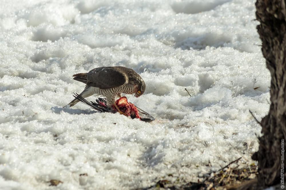 2. Ястреб-перепелятник обедает голубем © NickFW.ru — 20.03.2021г.