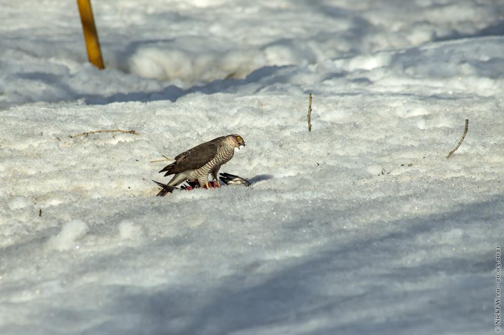5. Ястреб-перепелятник обедает голубем © NickFW.ru — 20.03.2021г.