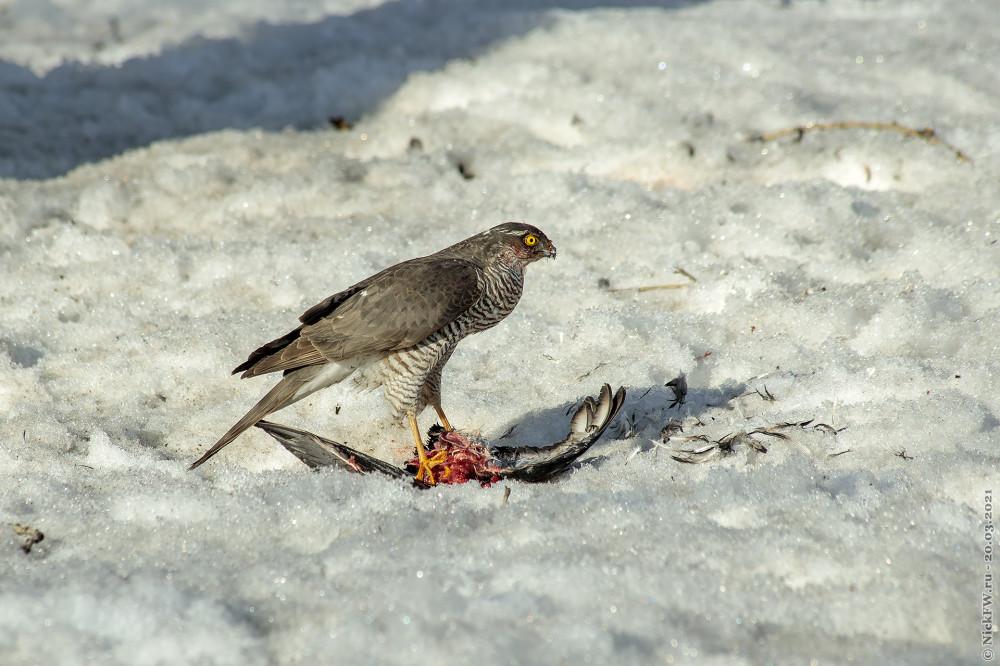 6. Ястреб-перепелятник обедает голубем © NickFW.ru — 20.03.2021г.