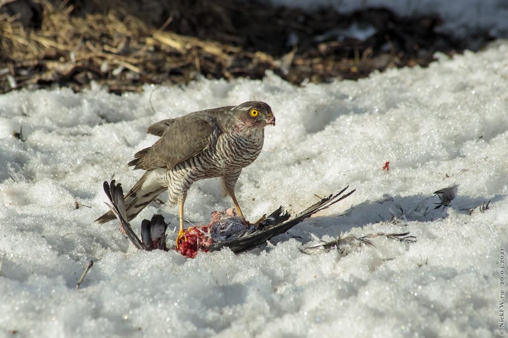 7. Ястреб-перепелятник обедает голубем © NickFW.ru — 20.03.2021г.