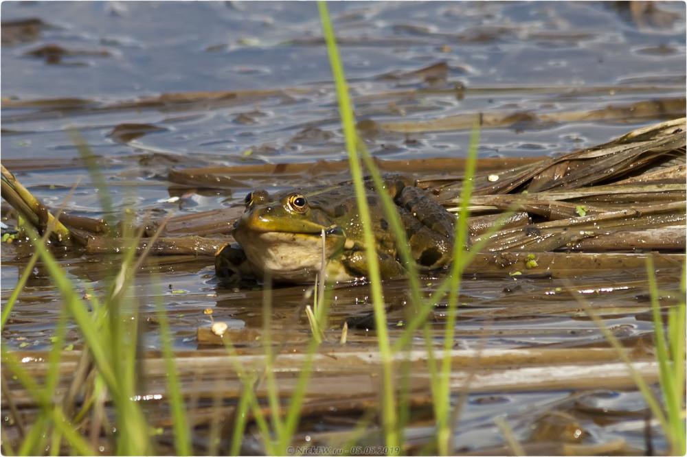 1. Лягушки в пруду © NickFW.ru - 05.05.2019г.
