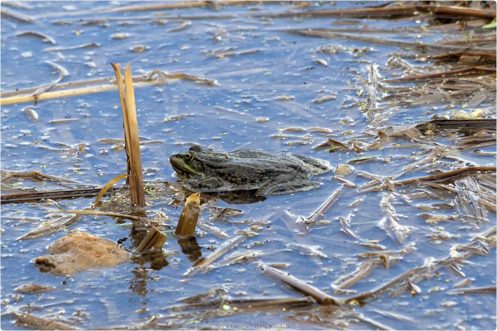 3. Лягушки в пруду © NickFW.ru - 05.05.2019г.
