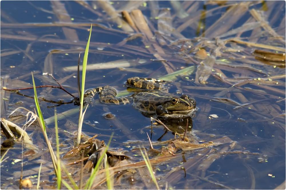 5. Лягушки в пруду © NickFW.ru - 05.05.2019г.