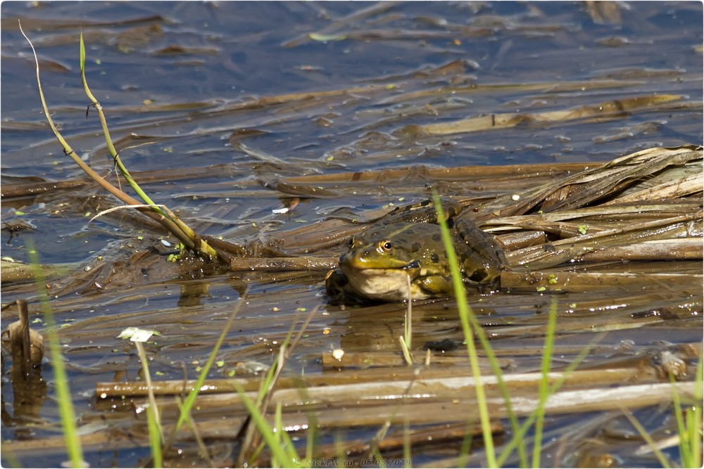6. Лягушки в пруду © NickFW.ru - 05.05.2019г.