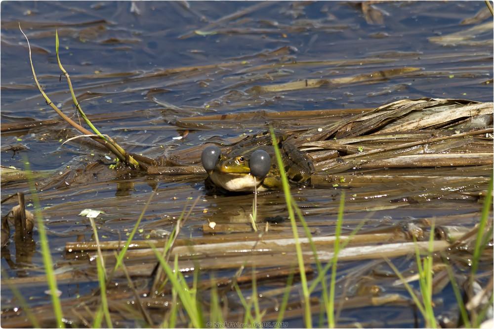 8. Лягушки в пруду © NickFW.ru - 05.05.2019г.