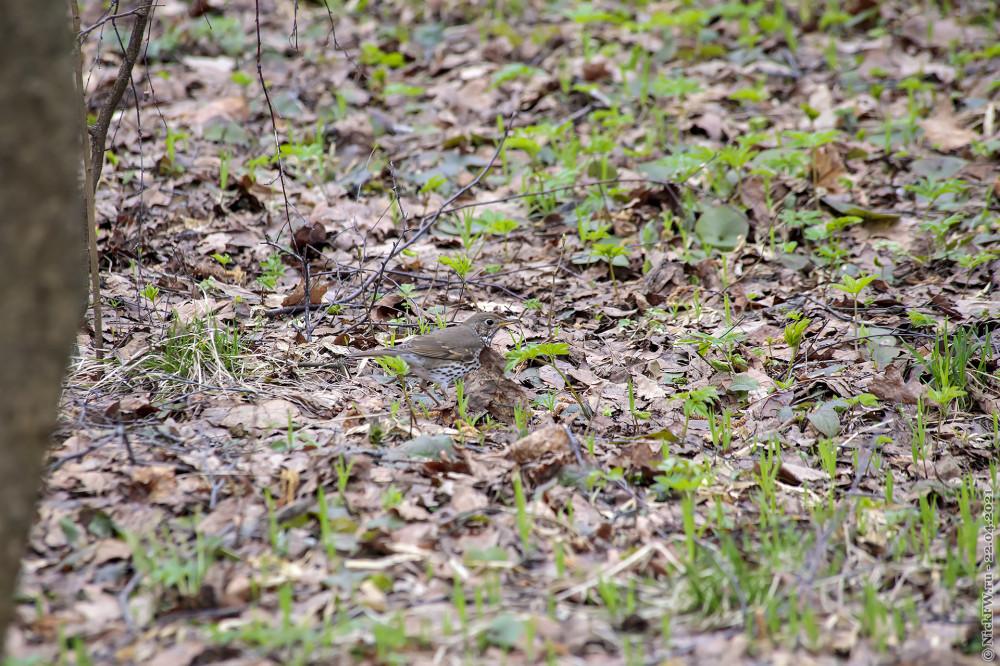 1. Певчий дрозд в Мещерском парке © NickFW.ru — 22.04.2021г.