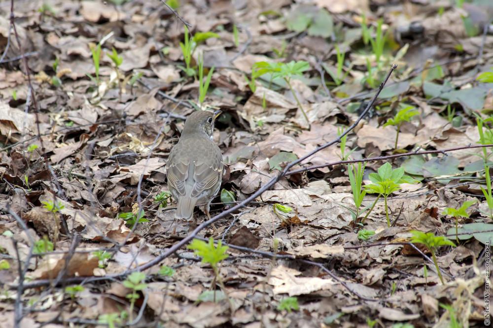 3. Певчий дрозд в Мещерском парке © NickFW.ru — 22.04.2021г.