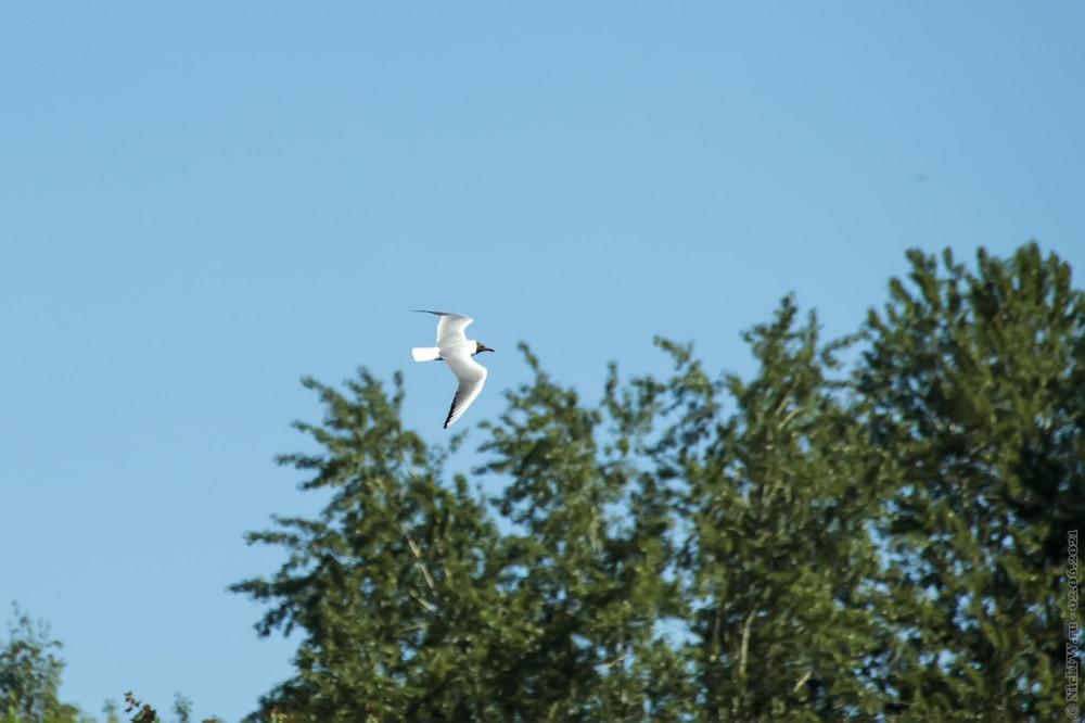 Озёрная чайка над Большим Солнцевским прудом © NickFW.ru — 02.06.2021г.
