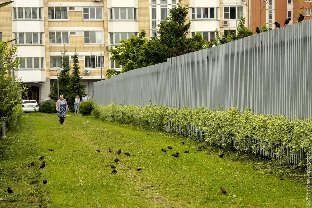 1. Скворцы на газоне © NickFW.ru — 05.06.2021г.