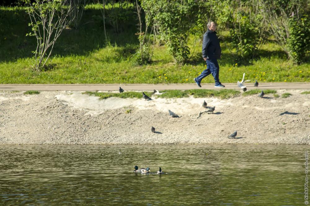 3. Пешеходы, голуби и кряквы  © NickFW.ru — 02.06.2021г.