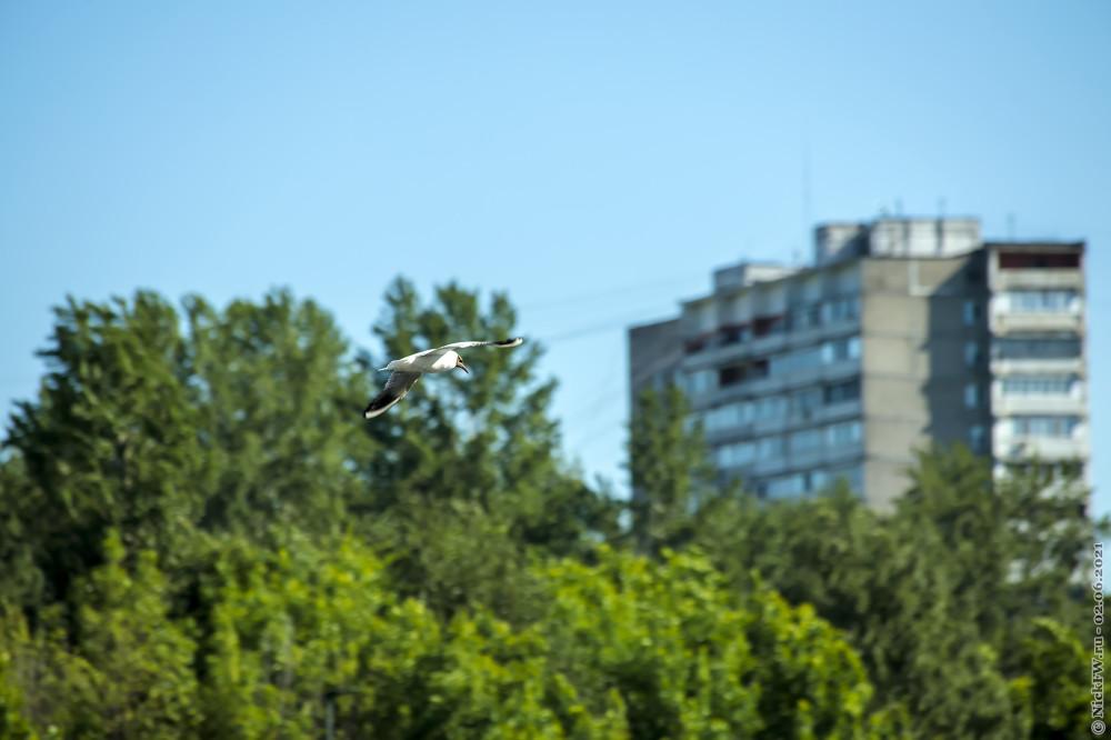 4. Озёрная чайка © NickFW.ru — 02.06.2021г.