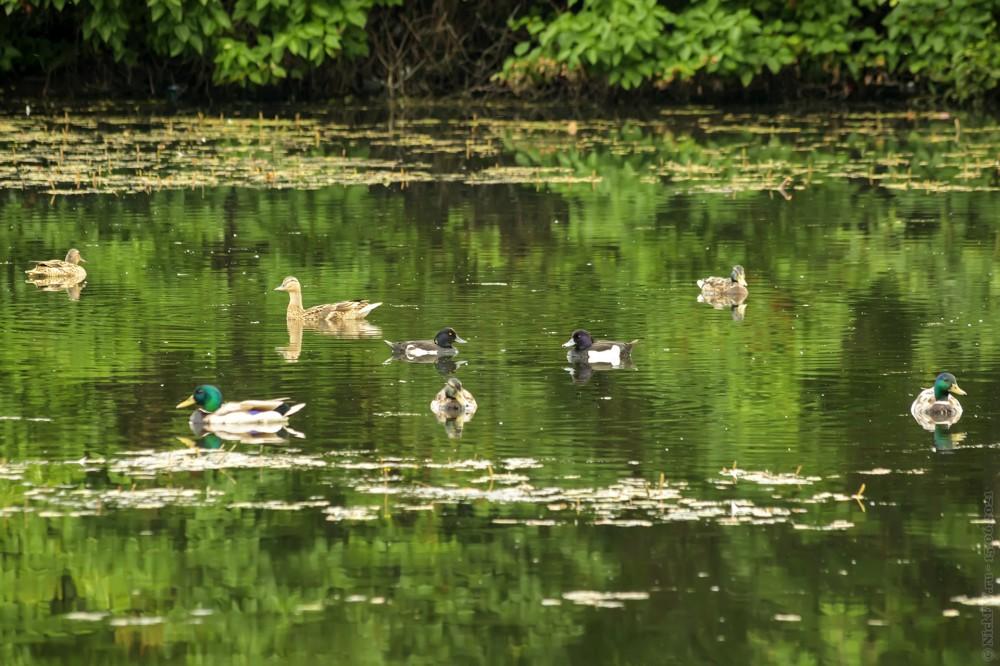 Утки на Передельцевском пруду © NickFW.ru — 15.06.2021г.