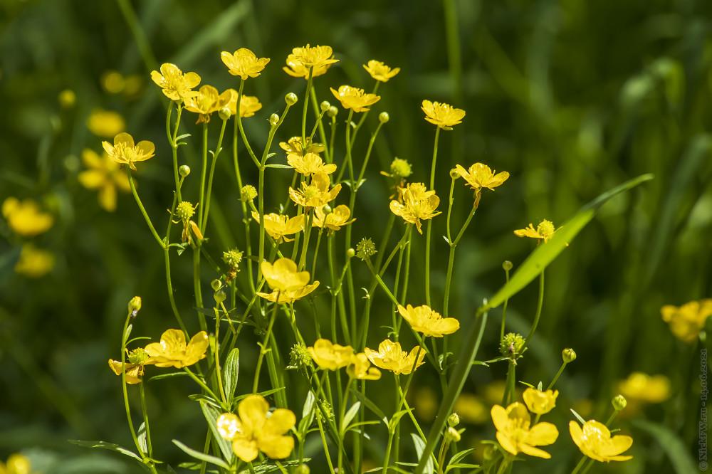 2. Жёлтенькие цветочки © NickFW.ru — 14.06.2021г.