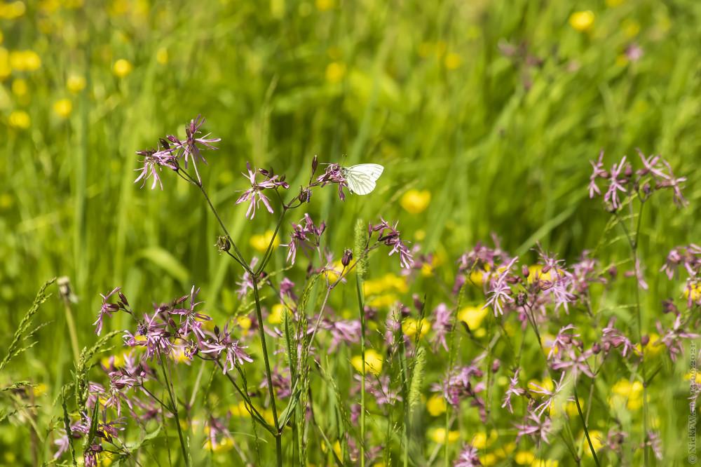 4. Бабочка на каких-то цветочках © NickFW.ru — 14.06.2021г.