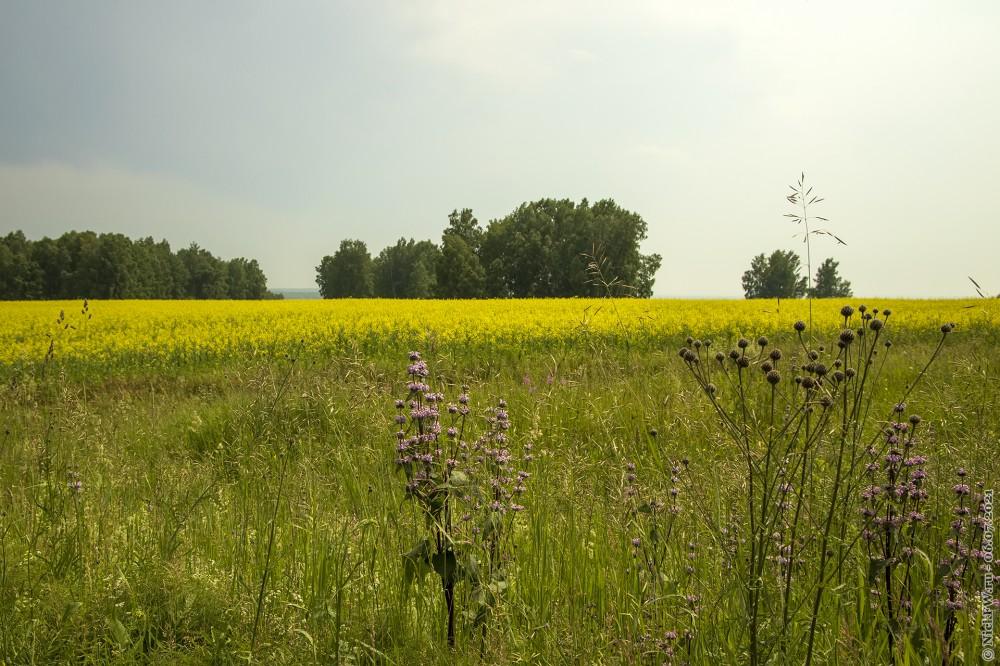 5. Цветущие поля © NickFW.ru — 06.07.2021г.