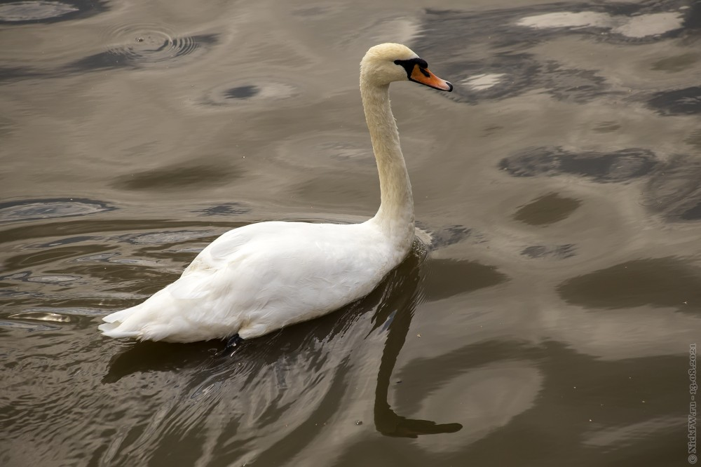 4. Лебедь © NickFW.ru — 13.08.2021г.