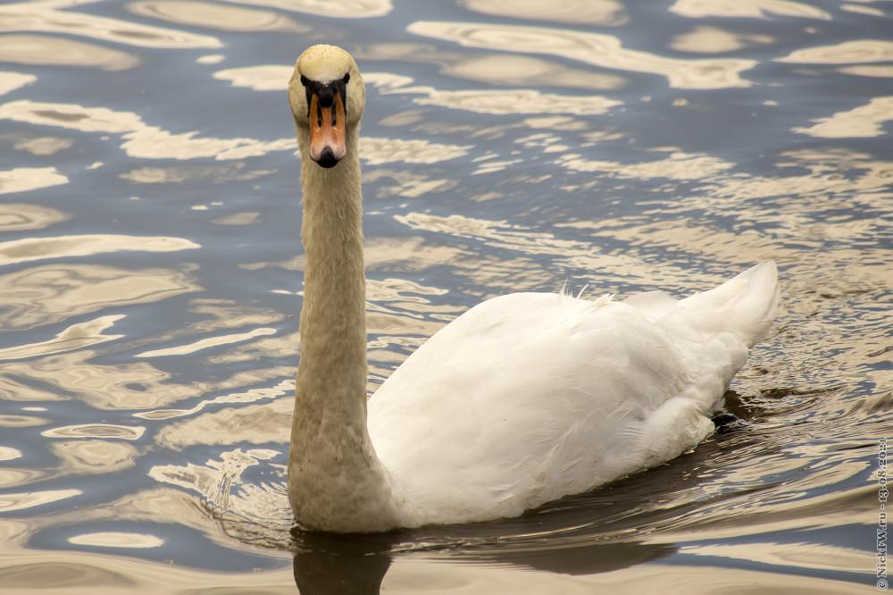 5. Лебедь © NickFW.ru — 13.08.2021г.