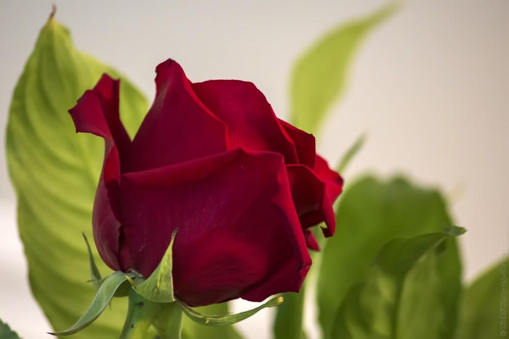 Роза © NickFW.ru — 29.08.2021г.