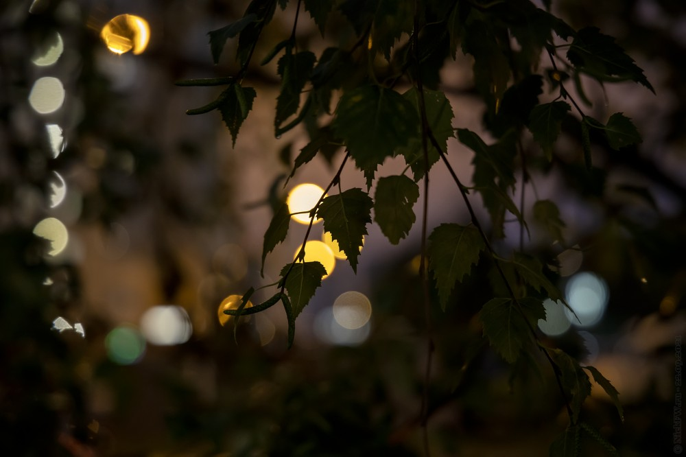 Вечерние берёзки... © NickFW.ru — 22.09.2021г.