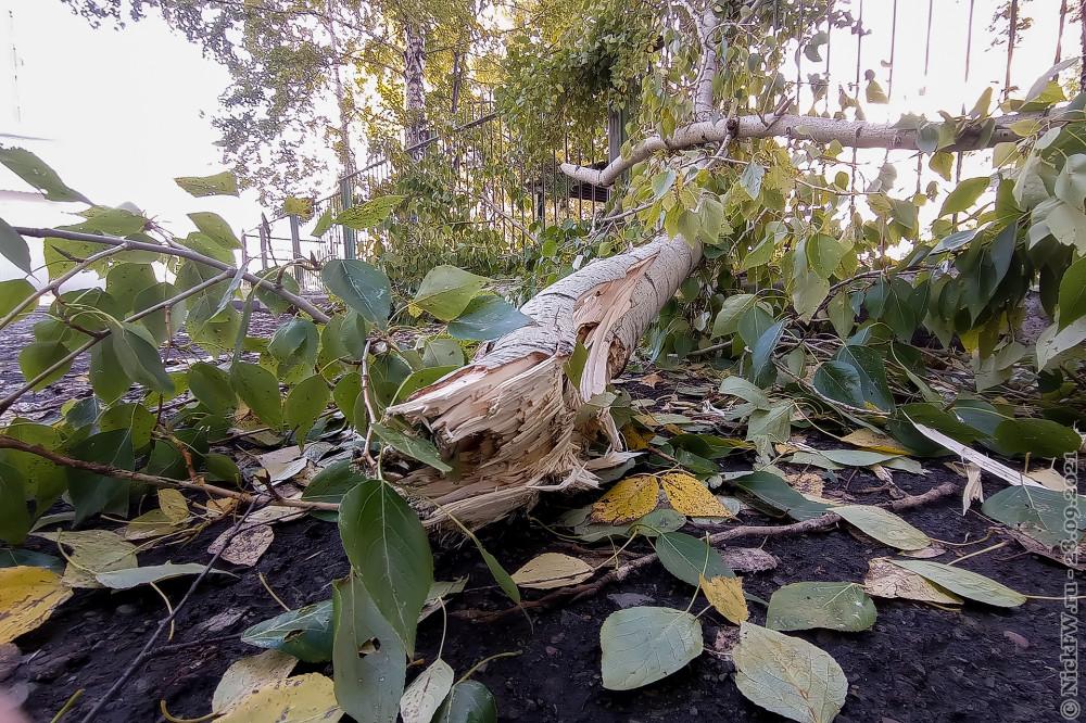 Тополиные ветви © NickFW.ru — 28.09.2021г.