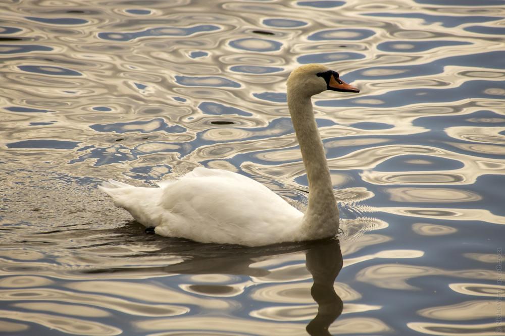 1. Лебедь © NickFW.ru — 13.08.2021г.