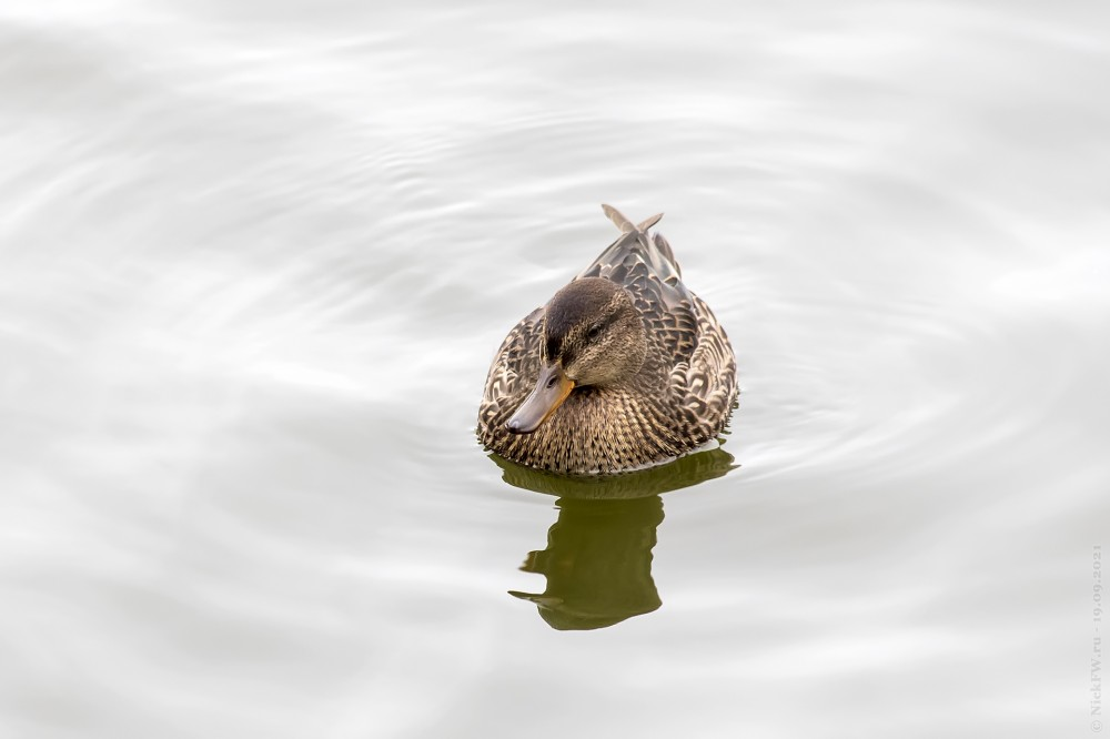 1. Чирок-свистунок — самка... © NickFW.ru — 19.09.2021г.
