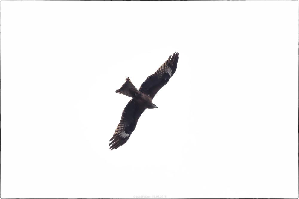 Черный коршун в пасмурном небе [© NickFW.ru - 12.04.2018]